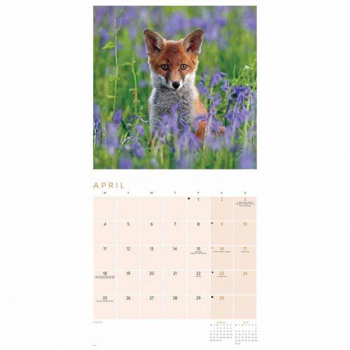 Foxes Calendar 2022-inside
